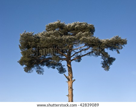 Top of pine tree in winter wood on sky background
