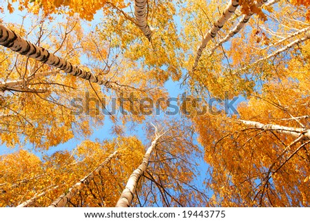 Top of the birches, sun weather and blue sky - stock photo