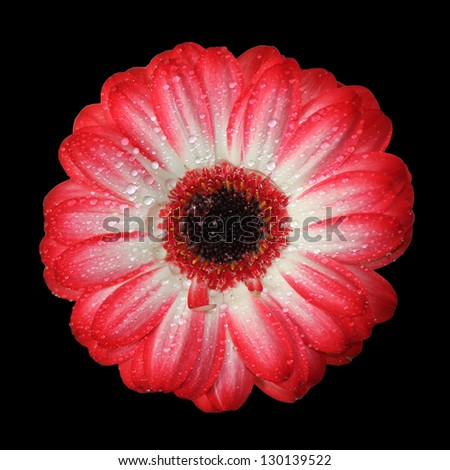 top view from a gerbera daisy, red and white colored, with dew drops, isolated on black background - stock photo