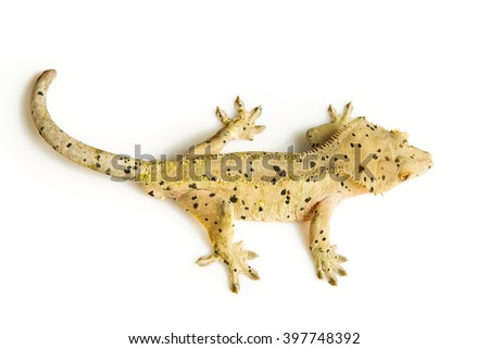 Top view of a crested gecko - stock photo