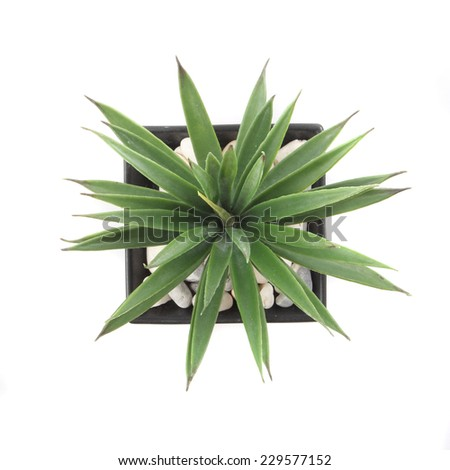 Top View of Agave in Pot isolated on white - stock photo