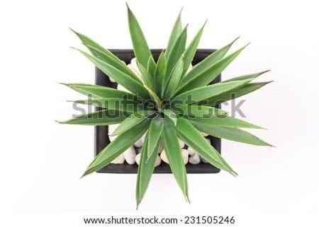 Top View of Agave in Pot isolated on white background - stock photo