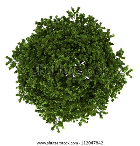 top view of american sweetgum tree isolated on white background