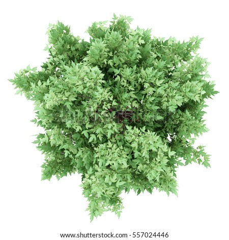 top view of amur maple tree isolated on white background. 3d illustration