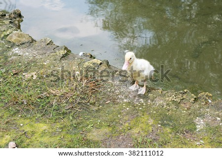Top view of beautiful duckling, with yellow plumage, at shore of a pond, on a sunny day of summer  - stock photo