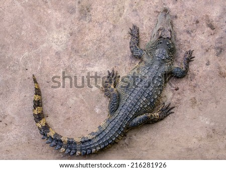top view of crocodile in farm. - stock photo