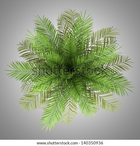top view of date palm tree isolated on gray background - stock photo