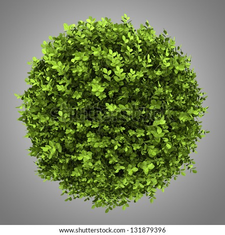 top view of dwarf english boxwood isolated on gray background - stock photo