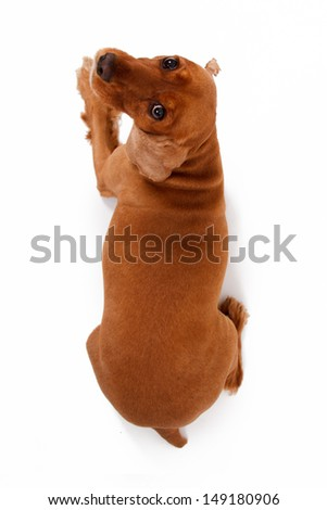 Top view of English cocker spaniel dog, isolated on white background. - stock photo