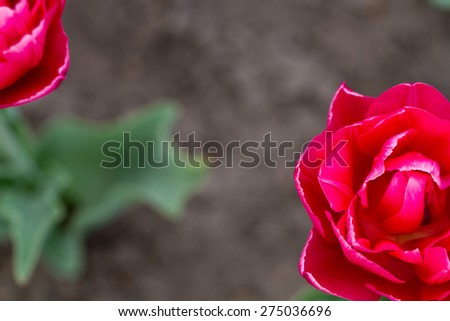 Top view of exotic red tulips in botanical garden - stock photo