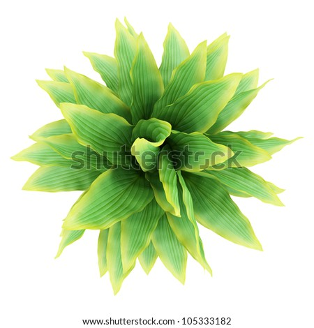 top view of funkia bush isolated on white background - stock photo