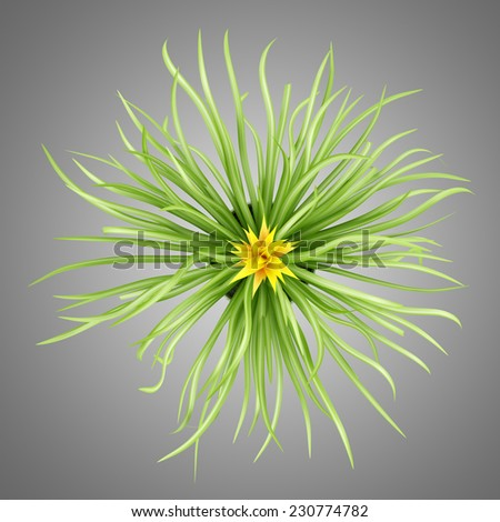 top view of guzmania plant in pot isolated on gray background - stock photo