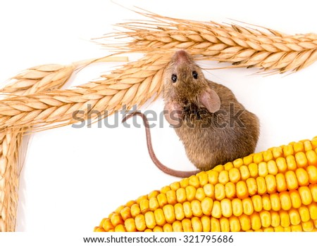 Top view of house mouse (Mus musculus) along wheat and corn seeds - stock photo