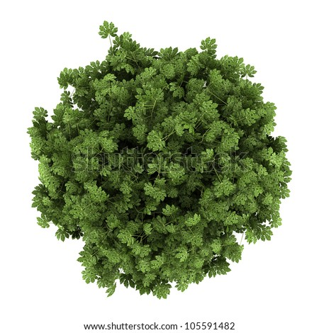 top view of japanese aralia bush isolated on white background