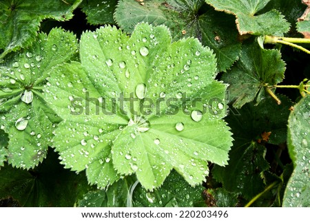 Top view of leaves of Lady's Mantle with drops, shallow depth of field   - stock photo