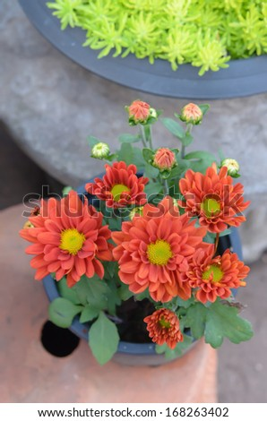 top view of orange daisies flower in a pot