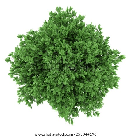 top view of rowan tree isolated on white background
