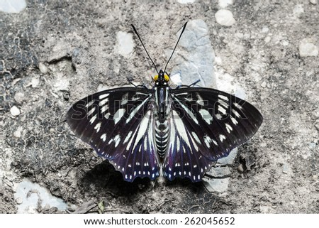 Top view of the Common Courtesan butterfly - stock photo