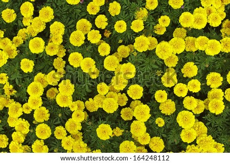 top view of the Marigold flower - stock photo