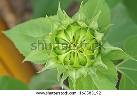 top view of the young sunflower bud - stock photo