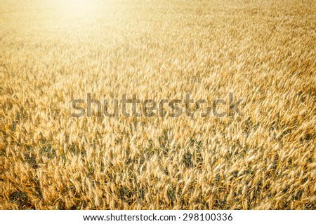 Top view of wheat field at harvest. Agricultural concept  - stock photo