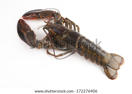 top view of wild lobster - stock photo