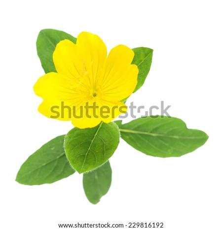 Top view of yellow primrose oenothera frutcosa flower isolated on white  - stock photo