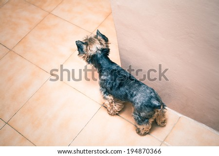 Top view of Yorkshire Terrier dog indoors. - stock photo