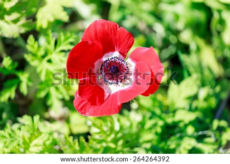 Top view on red ripe anemone  flower in a field - stock photo