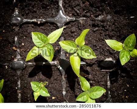 Top view on small peppers plants after germination. - stock photo