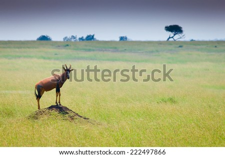 topi antelope on the hill - stock photo