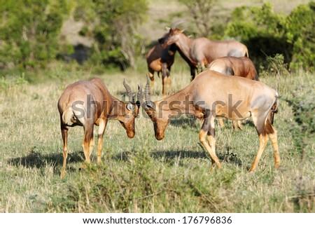 Topi antelopes ready to fight - stock photo