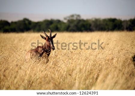 Topi  standing in the grasslands (Masai Mara; Kenya) - stock photo