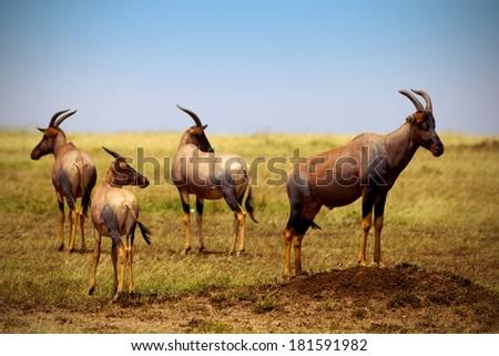 Topis on savanna plains in Kenya - Masai Mara national park - stock photo