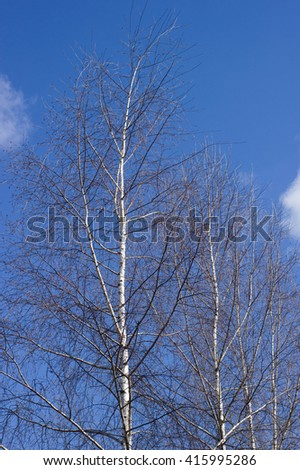 Tops of birch trees against the sky - stock photo