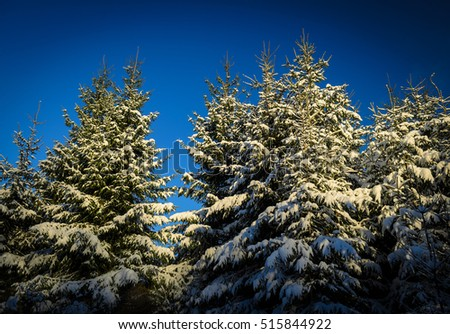 tops of green spruces all covered with snow