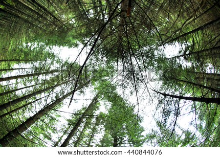 Tops of high trees in mountain forest - stock photo