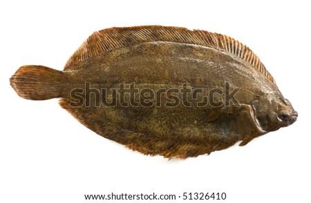 Torbay sole(Glyptocephalus cynoglossus) isolated on white - stock photo