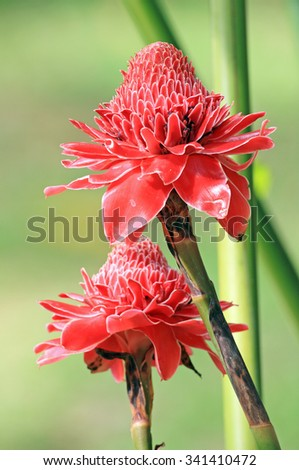 Torch Ginger - stock photo