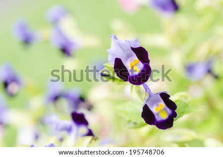 Torenia or Wishbone flowers in the garden or nature park