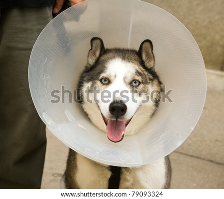 TORONTO, CANADA – JUN 12: A husky enjoys Woofstock, the largest outdoor festival for dogs in North America since 2003, in the St. Lawrence Market Neighborhood June 12, 2011 in Toronto, Ontario.
