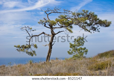 Torrey Pine Tree - stock photo