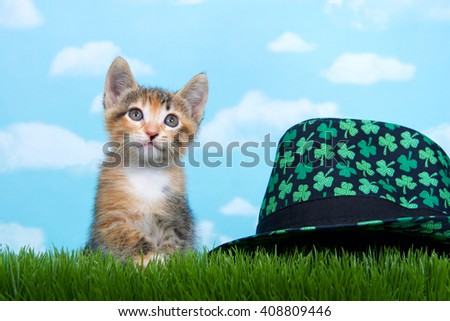 Tortie Tabby kitten perched below tall green spring grass looking forward to the side with blue background white fluffy clouds. Black Saint Patty's Day hat with green shamrocks sitting next to cat - stock photo