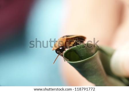 Tortoise Beetle - stock photo