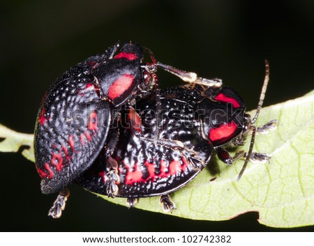 Tortoise beetles (Family Chrysomelidae) mating in the rainforest understory at night.