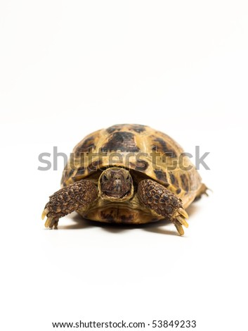 Tortoise Isolated on White