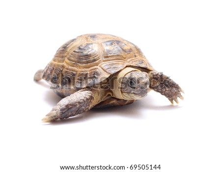 tortoise land on the Asian brown yellow - stock photo