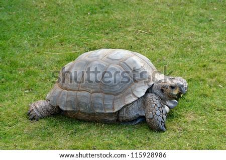 Tortoise on grass - stock photo