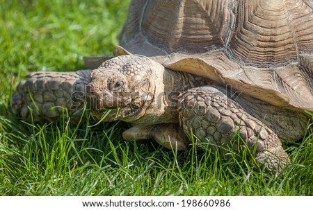 Tortoise on the grass eating - stock photo
