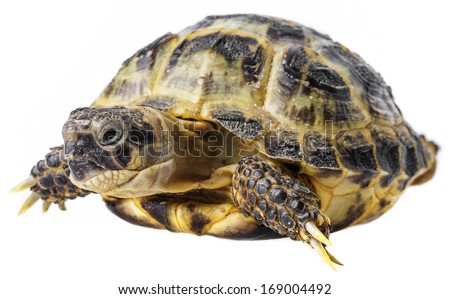 tortoise -  testudo horsfieldii isolated on white